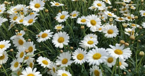 chamomile-2771099.background daisies