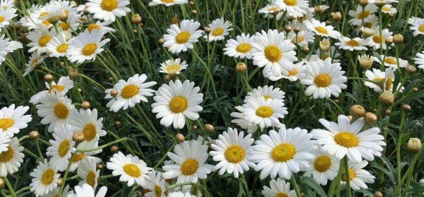 chamomile-2771099.background daisies