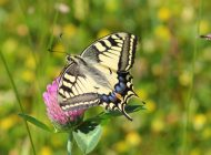 swallowtail-butterfly-364329