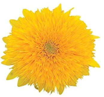 tddy bear sunflower