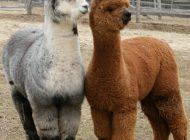 alpacas1
