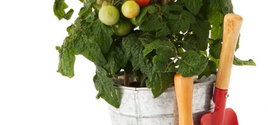 Tomato plant for vegetable garden